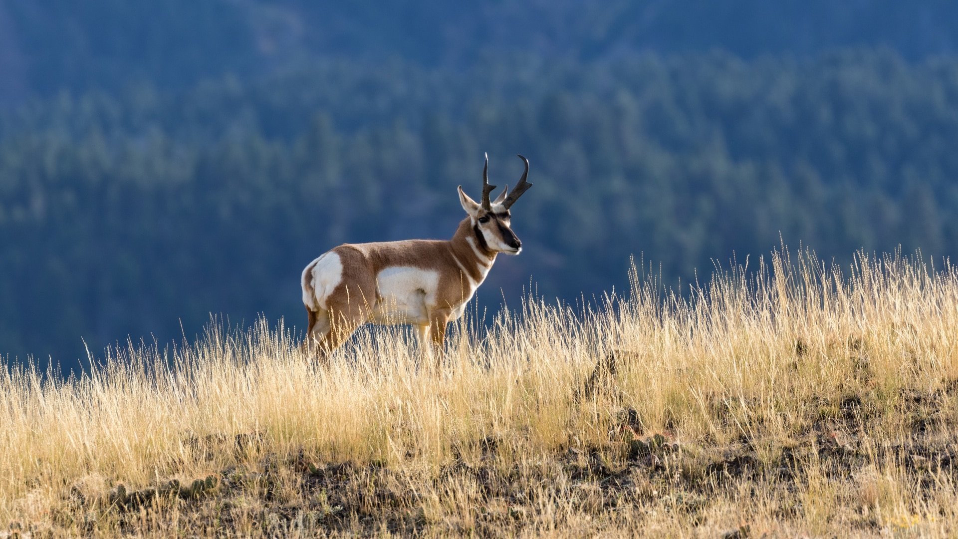 24-Hour Pronghorn Hunt