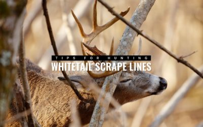 Whitetail Scrape Lines: What You Need to Know